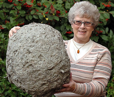 Enormous wasp's nest
