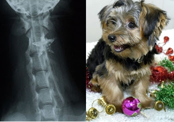 Yorkshire Terrier Charlie