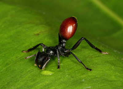 Ant infected with a parasite