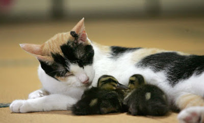 Cat Becomes Surrogate Mother To Ducklings