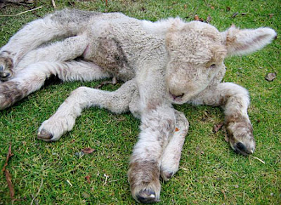 Seven-legged lamb