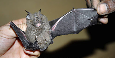 A new species of bat
