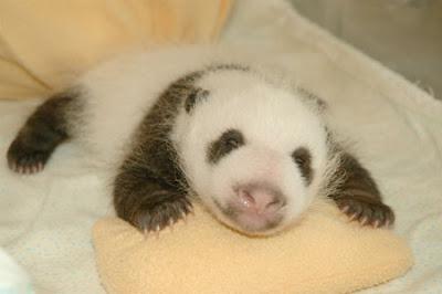 Cute panda bear cub
