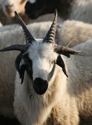 Goat with 6 horns