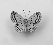 Smallest butterfly in the world