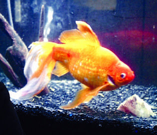 Max the goldfish