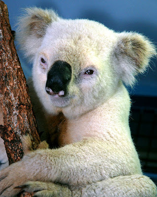 Paleface, the white koala bear