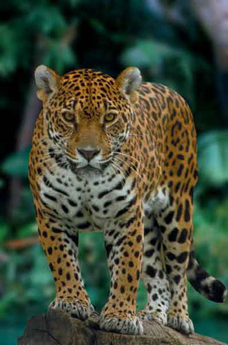 genus panthera - photo #26