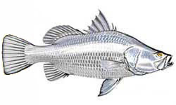 Barramundi / Lates calcarifer