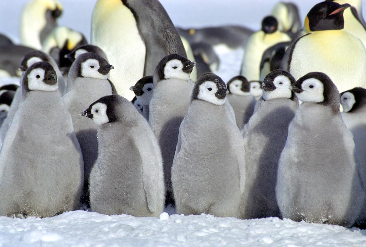 Cute baby emperor penguin - photo#9