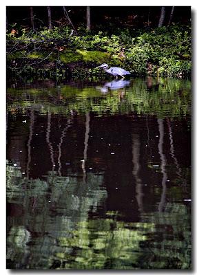 Heron on Far Bank - Pikesville, MD