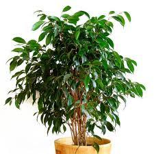 descontaminar aire plantas ficus