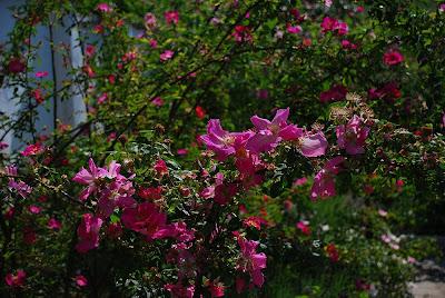 Rosa Frühlingszauber