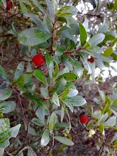 Medronho. arbustus Unedo.