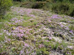 Tormentelo (Thymus caespititius) em floração