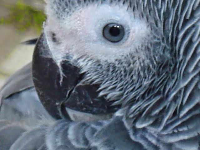 Association d Eleveurs amateurs de perroquet Gris du Gabon,perroquet eleveur gris du gabon