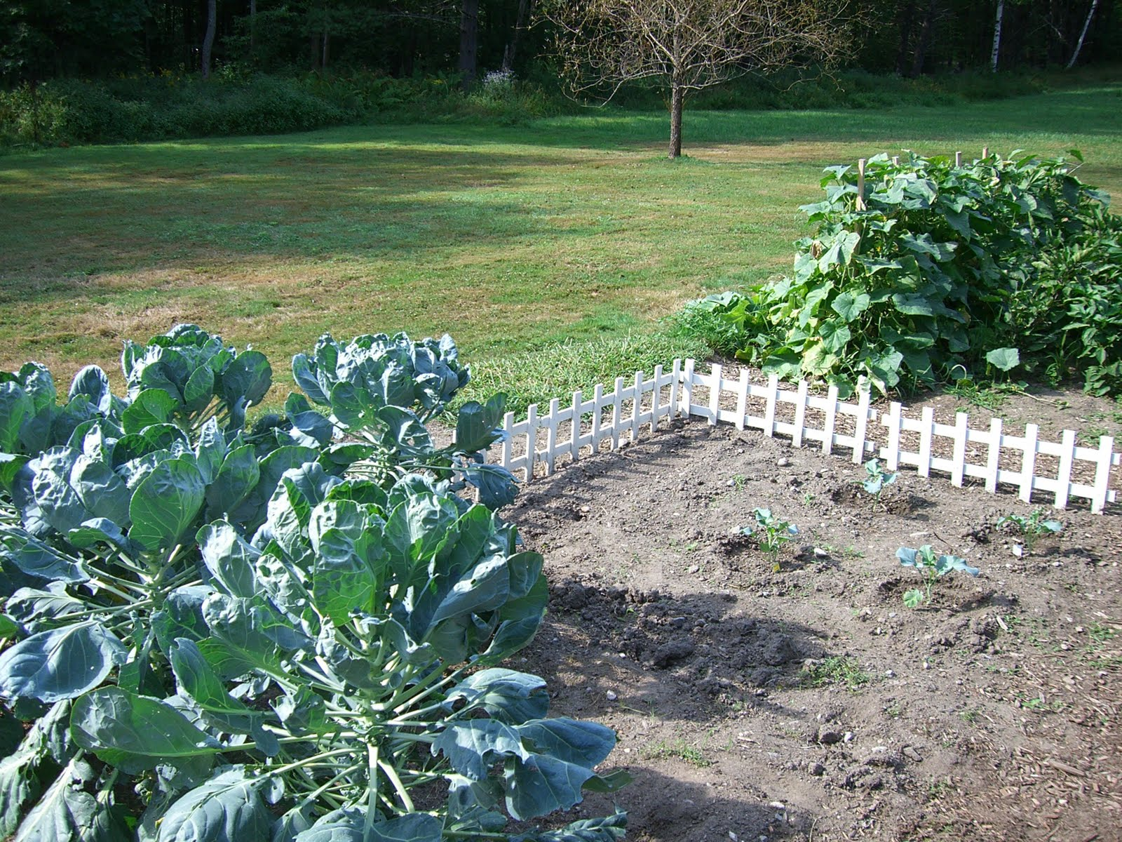... You Can See The Four New Broc Plants, And The Brussels Sprouts In The  Foreground. The Newly Planted Peas Are On The Outside Of The Little White  Fence, ...
