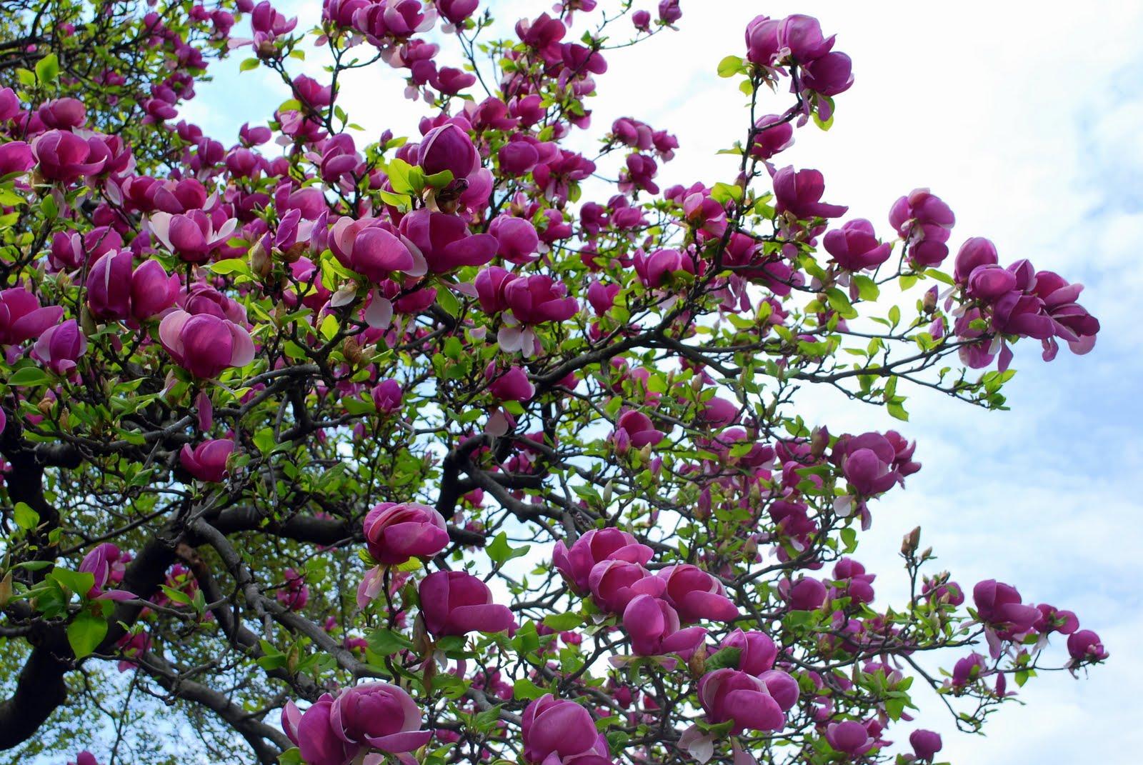 Mille Fiori Favoriti: Magnolia Trees in the Brooklyn ...