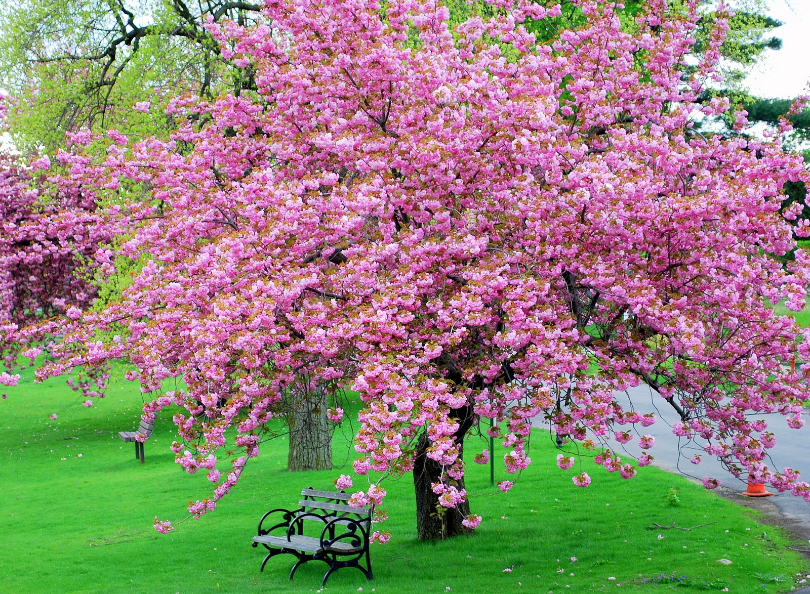 Mille fiori favoriti pink saturday pink trees Japanese cherry blossom tree