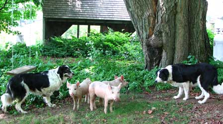 [3+piglets+&+dogs+.jpg]