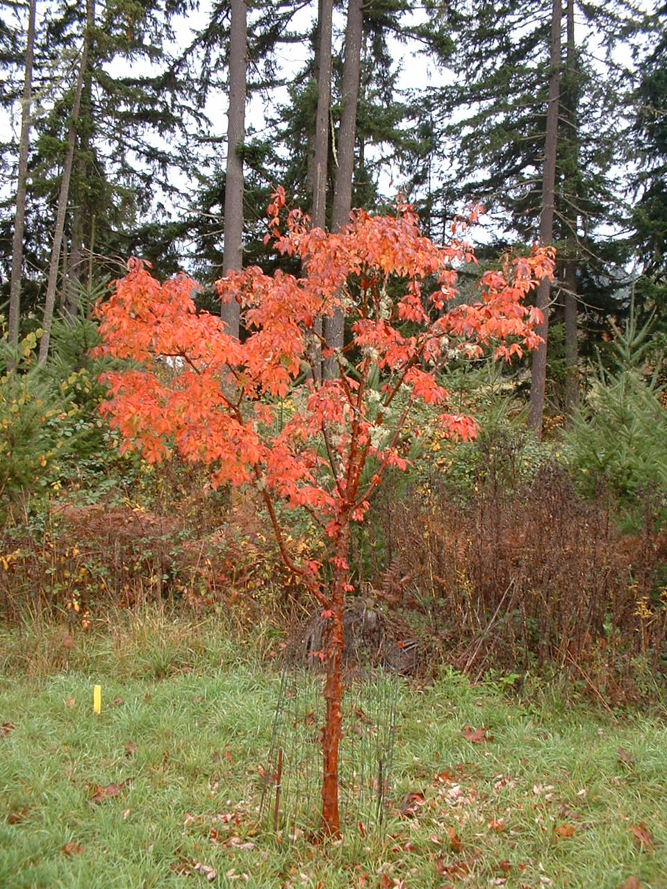 Four Hills of Squash: The Paperbark Maple