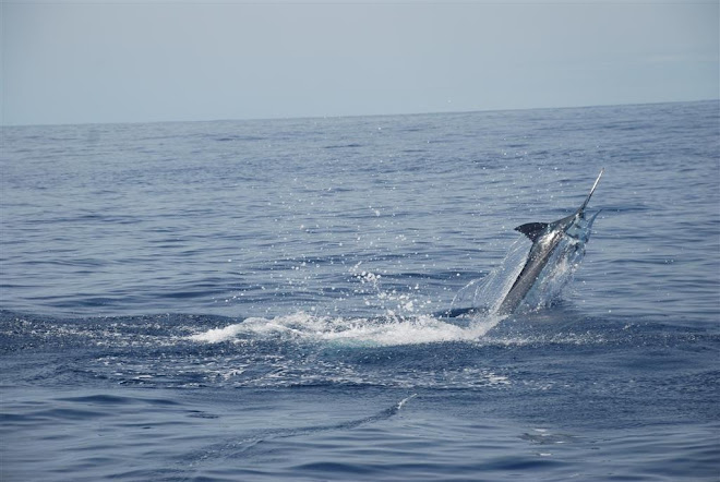 WESSA PB BLUE MARLIN 340KG C&R