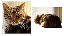 Jake,The Original Chubby Cat!