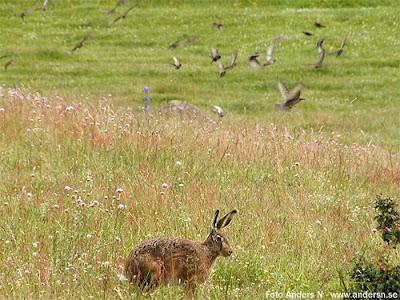 hare, fågel, fåglar, gräs, bugs, bunny