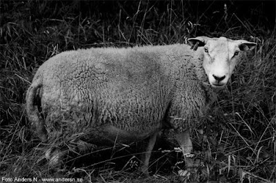 får sheep bä baa