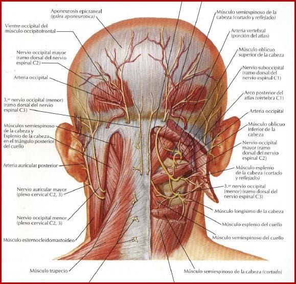 Dolor de cabeza o cefalea por neuralgia de Arnold o