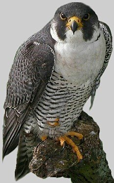 THE PEREGRINE FALCON