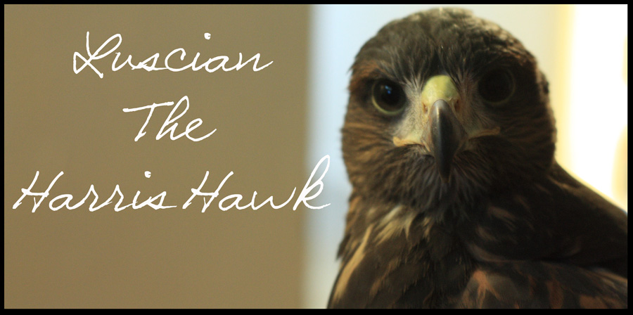 Luscian The Harris Hawk