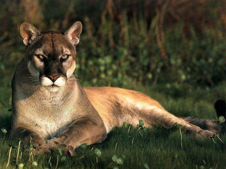La Bellezza degli Animali Puma