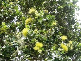 Ohia Lehua Blossoms
