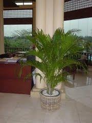 Palm Kuning