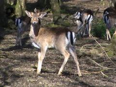 Fallow buck aged 9 months
