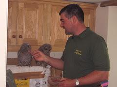 Tawny Owls being fed