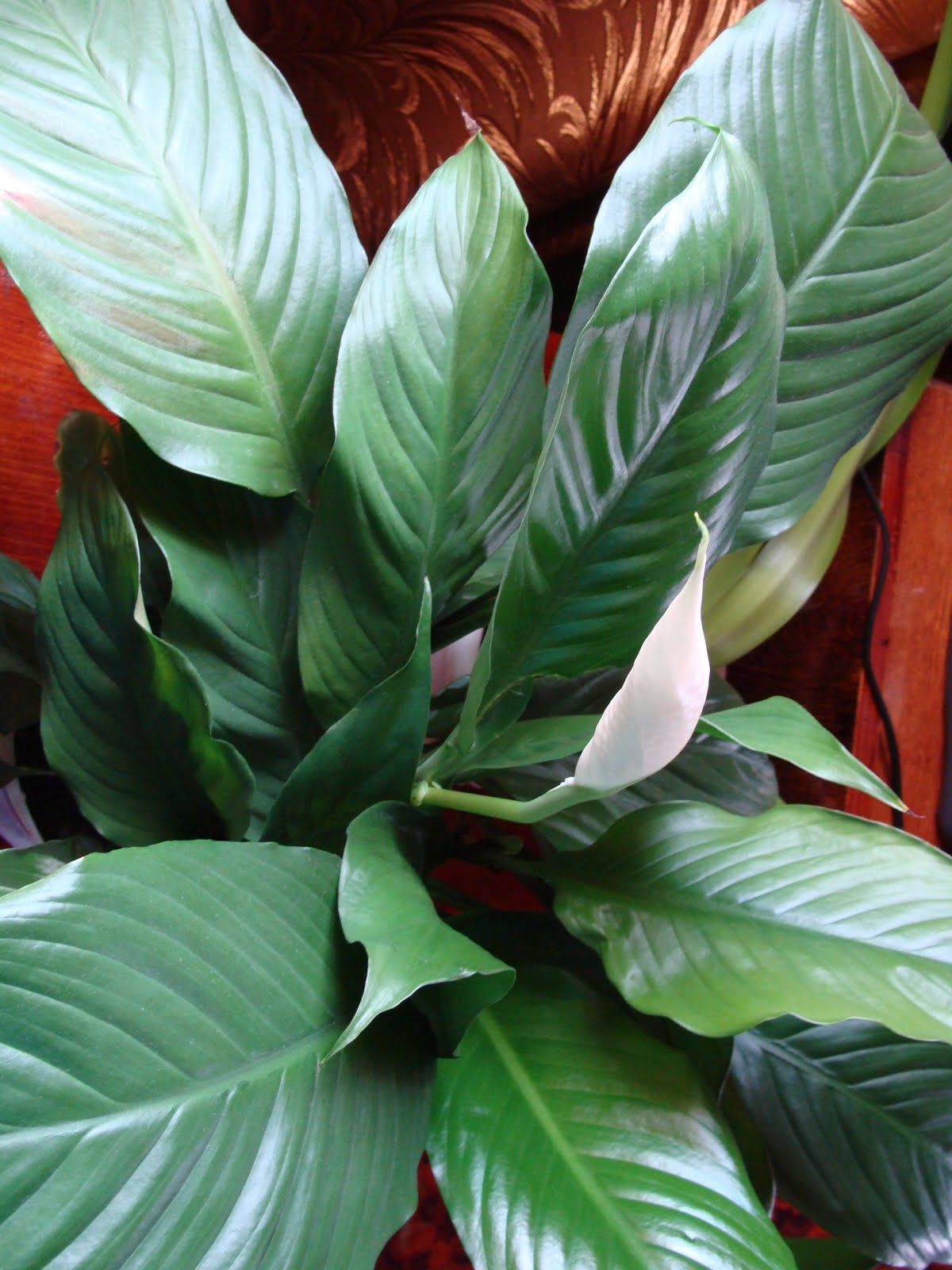 Фото, поэзия и проза: У спатифиллума желтеют листья