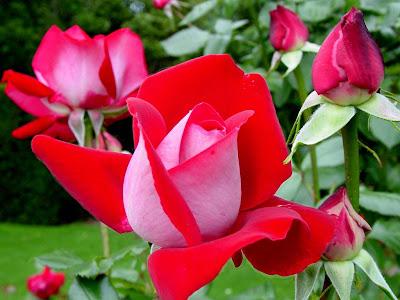 crvene ruže cvijeće proljeće download besplatne slike pozadine wallpapers desktop