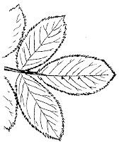 Vocabulaire paysage botanique - Dessin de rosier ...