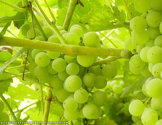 plantacje winogron winorośl pnącza