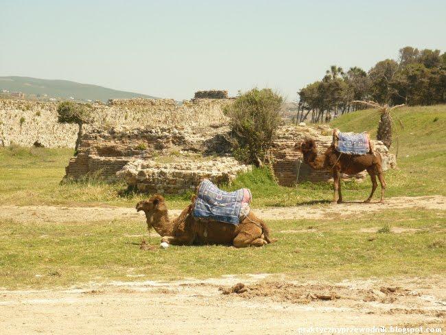 Tanger Maroko Wielbłądy