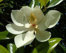 Magnolia Grandilflora