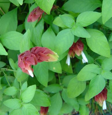 MISSISSIPPI GARDEN: Red Shrimp Plant Flowers Loving This 99 Degree ...