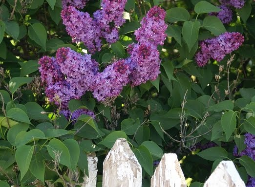 Homestead lilac bush