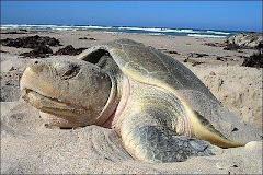 A causa de contaminantes especies como la tortuga mueren constantemente