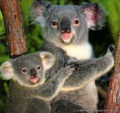 Koala Bear (25mph)