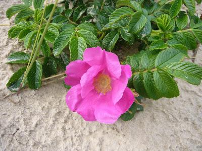 dzika róża kwiat