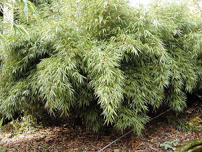growing with plants the 120 year miracle our bamboo. Black Bedroom Furniture Sets. Home Design Ideas