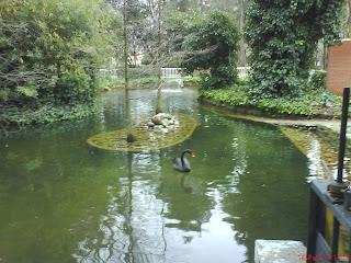 cisne pato lago parque Miguel Servet Huesca